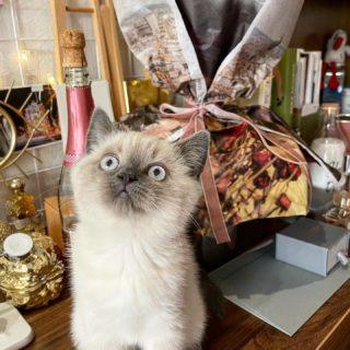 Как-то я пропустила День кота — а уж теперь эта дата к нам относится все сто процентов 😆 Тем более, 1 марта этому маленькому красавцу исполнилось 3 месяца, из которых месяц, как он живет с нами 🤍  Меня спрашивают о характере #scottishstraight, насколько этот котёнок шкодный и как ведёт себя по ночам 🐾   Милки очень игривый и любознательный (кстати, я думала, что будет более спокойный, даже флегматичный). Вечером вовсе пускается в дикие гонки и игрища, если не набегается, будет кружить по нашей кровати и «нападать» на все, что шевелится 😆  Безусловно, нужно придерживаться календаря прививок, следить за коготками и питанием (в плане, частотой приемов пищи), потому что аппетит у парня отменный 👍🏻  Очень любит общество, быть в центре внимания и мурчать от удовольствия у кого-то на руках 🤍  В общем, тема поста вполне ко Дню 8 марта 😉 Украшения, парфюмы — это чудесно, но такой дружочек — прямо в сердце. Взгляните на эти глаза 🤍  Кому нужны контакты — пишите в директ 🐾  #DivAmor #DivAmorNetua #cat #kitty #kittycat #kittensofinstagram #kittylove #milky #love #family #ourlove #catlife #catsofinstagram #inspiration #котенок #милки #кот #семья #скоттишстрайт #шотландскиекотята